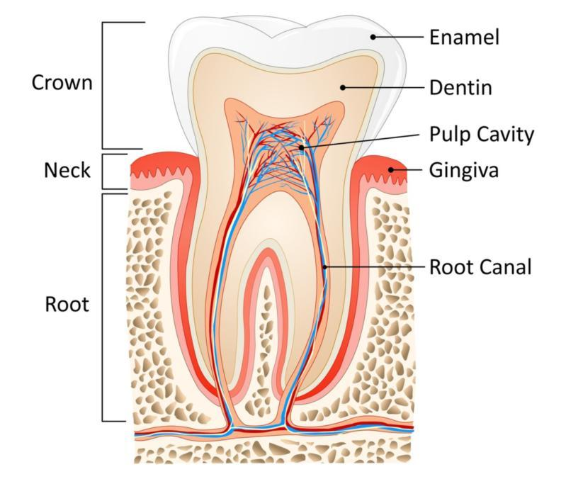 Root canal diagram | Dentist Elgin IL